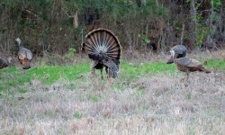 osceola-florida-turkey-hunting-023.jpg